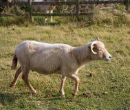 Od Dorset portlandzcy cakle Zdjęcie Stock