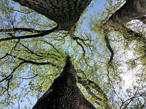 Od podstaw widok trzy drzewa Zdjęcie Royalty Free