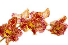 Odantoglossum hybrydu orchidea zdjęcia royalty free