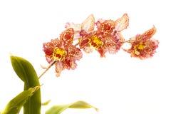 Odantoglossum hybrydu orchidea zdjęcia stock