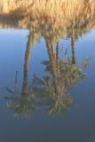 Odbicia daktylowe palmy w rzece. Zdjęcia Stock