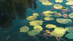 Odbicia drzewa, ulistnienie i wodne leluje, kiwają na załzawionej powierzchni rzeka zbiory wideo