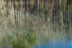 Odbicia w lasu bagnie fotografia royalty free