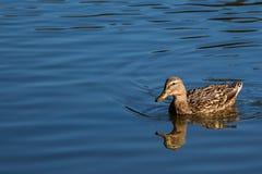 Odbicie kaczka na stawie przy Rood mosta parkiem Zdjęcia Royalty Free