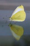 Odbicie motyl Boczny widok Zdjęcie Royalty Free