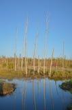 Odbijać nieżywych drzewa w spokojnym stawie i niebieskim niebie obraz stock