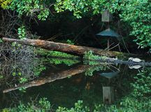 Odbijać wodę i żółwie Fotografia Stock