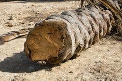 Odcinał drzewek palmowych kłamstwa na ziemi Fotografia Royalty Free