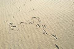 Odciski stopi w piasku od ptaka, obrazy stock
