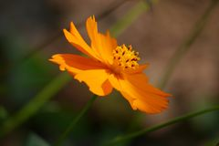 Happy Tilted Orange Wild Flower royalty free stock photography