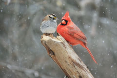 Odd Couple. Northern Cardinal (cardinalis cardinalis) and a White-throated Sparrow (zonotrichia albicollis) in a snow storm Stock Photos