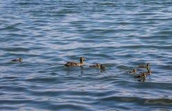 Odd Duck men fortfarande del av familjen royaltyfria foton
