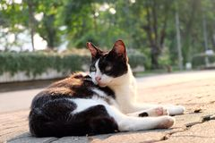Odd eyed cat Stock Image