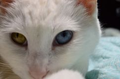 Rare white cat with two colored eyes stock photo