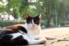 Odd eyed cat. Staring while lying down on the floor Royalty Free Stock Image