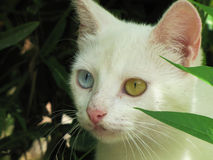 Odd eyed coloring white cat - Heterochromia iridum Stock Images