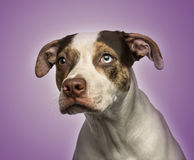 Odd-eyed crossbreed dog looking away,. Close-up of a odd-eyed crossbreed dog looking away, on purple background Royalty Free Stock Image