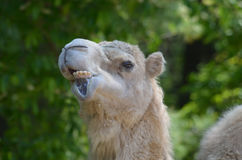 Odd Funny Looking Face on a Camel. Camel making very silly faces by moving his lips Stock Photography