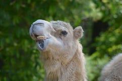 Odd Funny Looking Face på en kamel Arkivbild