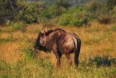 Africa- Close Up of an Exotic Blue Wildebeest royalty free stock photos