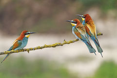 Odd-man-out. European bee-eater wild bird Royalty Free Stock Image