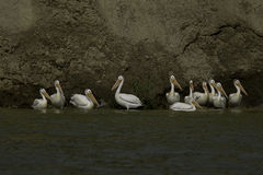 Odd man out. A small group of Pelicans Stock Photos