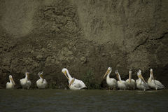 Odd man out. A small group of Pelicans Royalty Free Stock Image