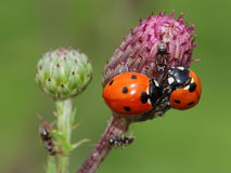 Odd-man-out (two ladybirds and ant). Close-up Royalty Free Stock Images
