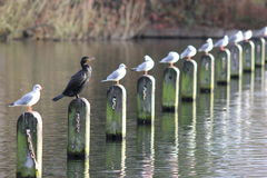 The odd one out: black cormorant Stock Photo