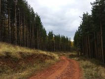 Odd pine tree forest. Road to hell through  odd pine tree forest Stock Images