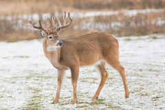 Odd rack of whitetail buck standing in snow Royalty Free Stock Images