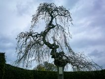 Odd shaped tree in the park. Odd shaped tree with long hanging branches with a bird box on the trunk Stock Photography
