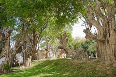 Odd Shaped Trees. In the Chiang Mai garden Stock Images