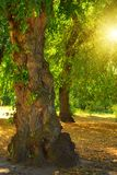 Odd tree and sun. Odd tree in forest and sun in leaves Royalty Free Stock Photo