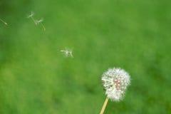 oddalonego dandelion latający ziarna obrazy stock