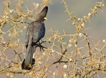 oddalony piękny ptak idzie Zdjęcia Royalty Free