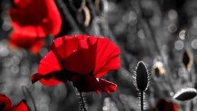 Oddech wiosna w przebraniu powietrzności i harmonii Malowniczy Majów kontrasty Osamotniony i niepowtarzalny poppy samotny zdjęcie wideo