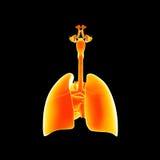 Oddechowego systemu i serca posterior widok ilustracja wektor