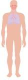 oddechowy system Obraz Royalty Free