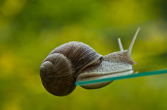 Oddly escargot. Close up of a snail suckled at a glass plate, with green background Royalty Free Stock Photography