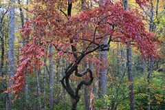 Oddly shaped Colorful Tree in Great Smoky Mountains. A very odd looking yet beautifully colorful tree in Great Smoky Mountains National Park royalty free stock photography