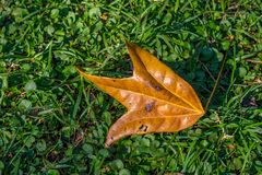 Oddly shaped orange colored autumn leaf isolated. Odd shaped autumn leaf isolated on green grass in a park image with copy space royalty free stock images