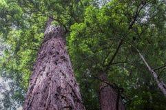 Oddolni widoku redwood drzewa i ulistnienie obraz royalty free