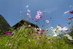 Oddolny spojrzenie purpury i menchie kwitnie z lato zdjęcie stock