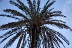 Oddolny strzał Kokosowej palmy roślina Wysuszeni i Świezi Frond liście pod niebieskim niebem Kąta widok drzewo z Scaly i Suchym obrazy stock