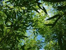 Oddolny widok od Phyllostachys bambusa roślinności zdjęcia stock