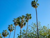 Oddolny widok rząd drzewka palmowe na bezchmurnym, słoneczny dzień obraz stock