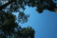 ODDOLNY widok sosna PRZECIW niebieskiemu niebu fotografia stock