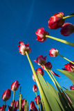 Oddolny widok tulipany obrazy stock