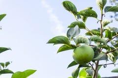 Oddolny widok, wiązka zielone surowe Persimmon round owoc i zieleń liście pod niebieskim niebem, kown jako heban owoc, jadalne ro fotografia royalty free